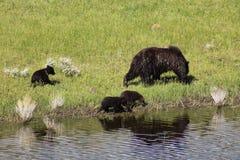 Urso e Cubs da mãe foto de stock