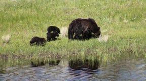 Urso e Cubs da mãe fotografia de stock