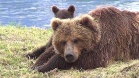 Urso e filhote de Brown filme