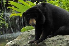 Urso e paparazzi Malayan do sol Imagens de Stock Royalty Free