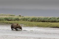 Urso e salmões grandes Foto de Stock Royalty Free