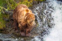 Urso em Alaska imagens de stock