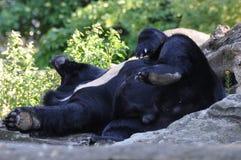 Urso em férias Fotografia de Stock Royalty Free