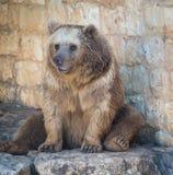 Urso em Haifa Zoo Imagens de Stock