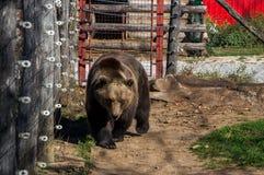 Urso em Korenica, Croácia foto de stock royalty free