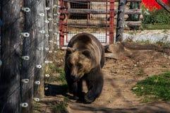 Urso em Korenica, Croácia foto de stock