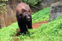 Urso em Safari Park indonésia foto de stock