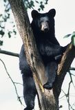 Urso em uma árvore Imagens de Stock Royalty Free
