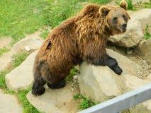 Urso em uma formação de rocha imagem de stock royalty free