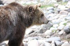 Urso ereto Fotos de Stock