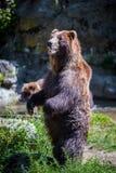 Urso ereto imagens de stock royalty free