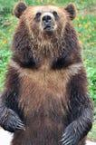 Urso ereto com fundo do campo de flor foto de stock