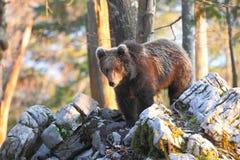 Urso esloveno fotografia de stock