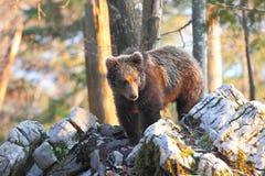Urso esloveno foto de stock