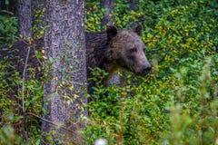 Urso espreitar, parque nacional de Banff, Alberta, Canadá Fotografia de Stock