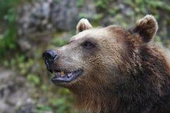 Urso feliz Fotografia de Stock