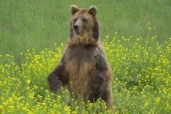 Urso feliz Fotografia de Stock Royalty Free