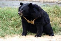 Urso Himalayan foto de stock