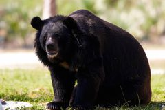 Urso Himalayan foto de stock royalty free