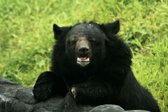 Urso Himalayan, India Fotos de Stock Royalty Free