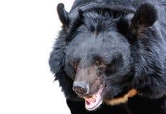 Urso Himalayan isolado no branco Fotos de Stock Royalty Free