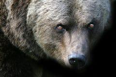 Urso irritado Fotografia de Stock Royalty Free