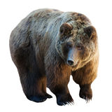 Urso. Isolado no branco Fotografia de Stock Royalty Free