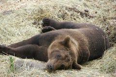 Urso - jardim zoológico de Éstocolmo Imagem de Stock Royalty Free