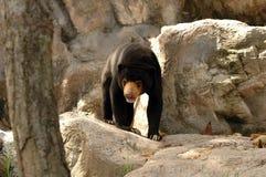Urso Malayan de Sun Imagem de Stock
