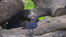 Urso malayan do sol do mel que senta-se ainda filme
