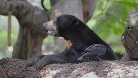Urso malayan do sol do mel que senta-se ainda vídeos de arquivo