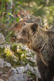 Urso marrom adulto, Eslovênia Imagens de Stock