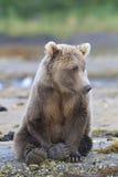Urso marrom bonito que descansa pelo córrego Fotos de Stock