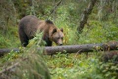 Urso marrom curioso Fotografia de Stock Royalty Free