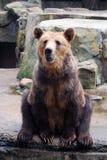 Urso marrom de assento no jardim zoológico Imagem de Stock Royalty Free