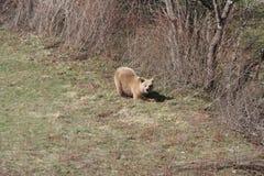 Urso marrom de Marsicano Imagem de Stock