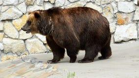 Urso marrom de passeio no jardim zoológico video estoque