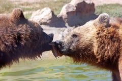 Urso marrom de Plitvice Foto de Stock