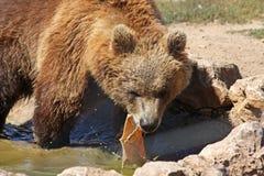 Urso marrom de Plitvice Foto de Stock Royalty Free