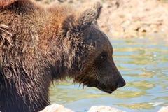 Urso marrom de Plitvice Imagem de Stock Royalty Free
