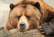 Urso marrom do Alasca Fotografia de Stock