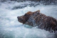 Urso marrom do Alasca Imagem de Stock
