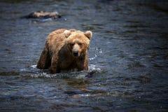 Urso marrom do Alasca Fotografia de Stock Royalty Free
