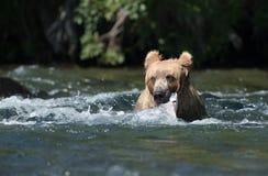 Urso marrom do Alasca com salmões foto de stock royalty free