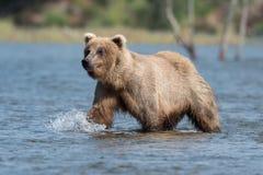 Urso marrom do Alasca no rio dos ribeiros fotos de stock royalty free