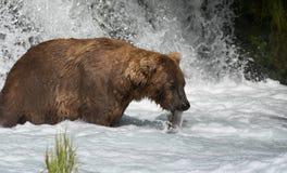 Urso marrom do Alasca que come salmões Fotos de Stock Royalty Free