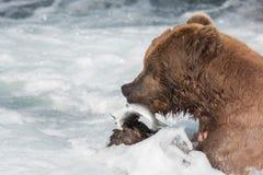 Urso marrom do Alasca que come salmões Fotos de Stock