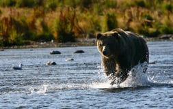 Urso marrom do console do Kodiak foto de stock