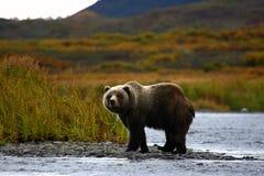 Urso marrom do Kodiak fotografia de stock royalty free