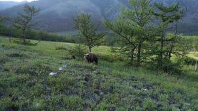 Urso marrom e filhote da mãe selvagem pela floresta vídeos de arquivo